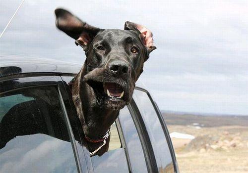 萌宠图片第1期:爱兜风的狗狗