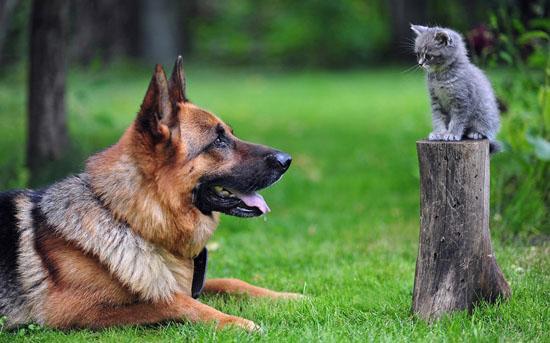 萌宠图片第20期:德国黑背牧羊犬