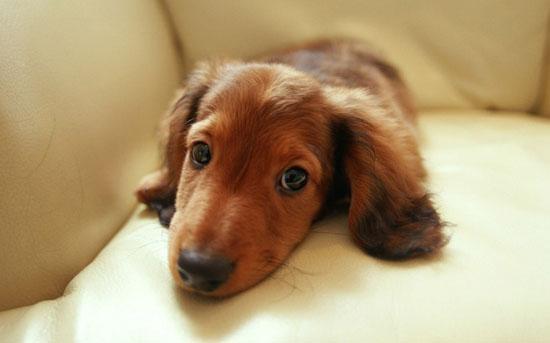 萌宠图片第10期:腊肠犬前来报到