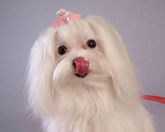 萌宠图片第12期:马尔济斯犬