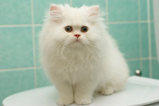 萌宠图片第21期:波斯猫