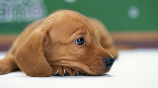萌宠图片第22期:腊肠犬