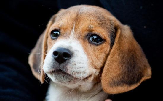 萌宠图片第23期:比格犬