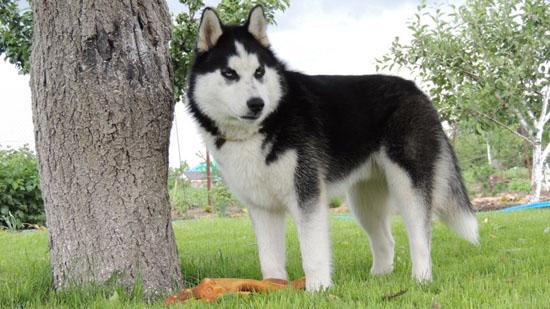 萌宠图片第24期:西伯利亚雪橇犬