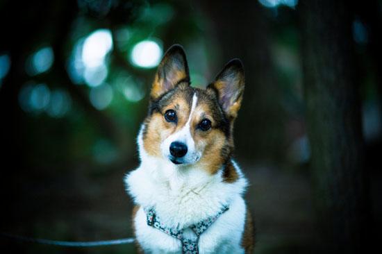 萌宠图片第25期:彭布罗克威尔士柯基犬