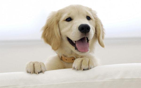 萌宠图片第28期:金毛寻回犬