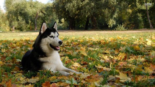萌宠图片第30期:雪橇犬哈士奇