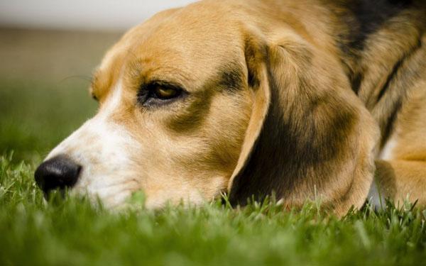 萌宠图片第35期:活泼可爱的比格犬