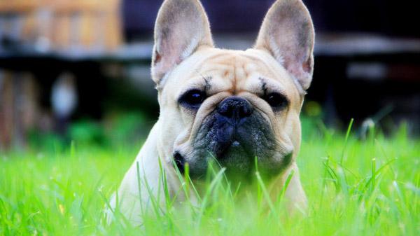 萌宠图片第42期:超萌的斗牛犬