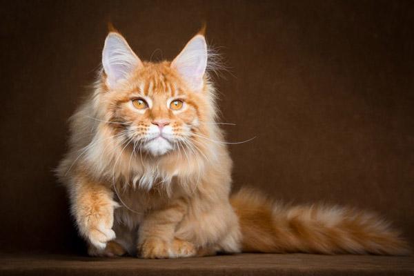 萌宠图片第46期:可爱的缅因库恩猫