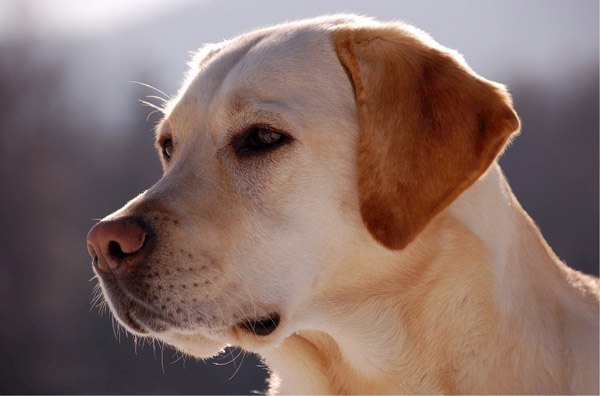 萌宠图片第47期:温和的拉布拉多犬