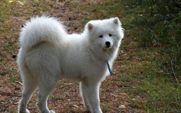 萌宠图片第52期:可爱的萨摩耶犬