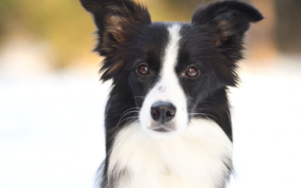 萌宠图片第54期:智商超高的边境牧羊犬/边牧