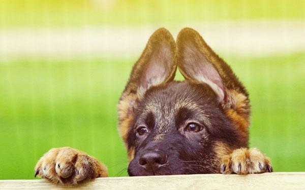 """萌宠图片第62期:""""硬汉""""牧羊犬"""