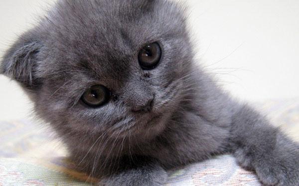 萌宠图片第64期:苏格兰折耳猫