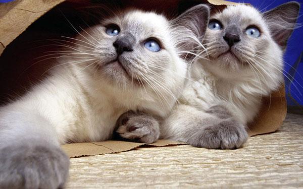 萌宠图片第79期:暹罗猫