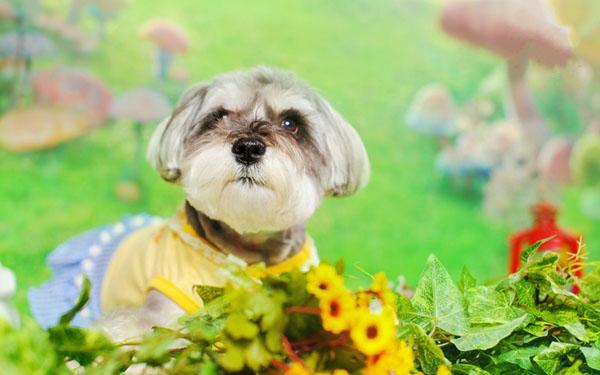 萌宠图片第91期:可爱的雪纳瑞犬