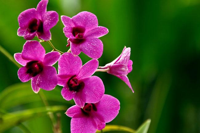那些花儿:胡姬花(第82期)