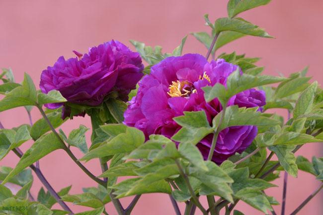 那些花儿:牡丹花(第83期)