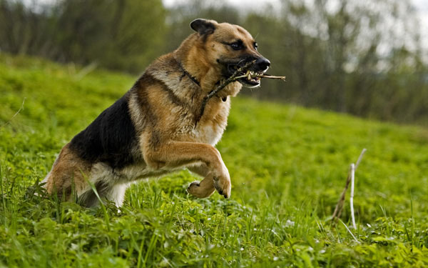 萌宠图片第97期:从容镇定的德国黑背犬