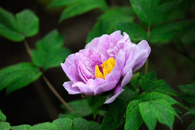 那些花儿:富贵牡丹花欣赏