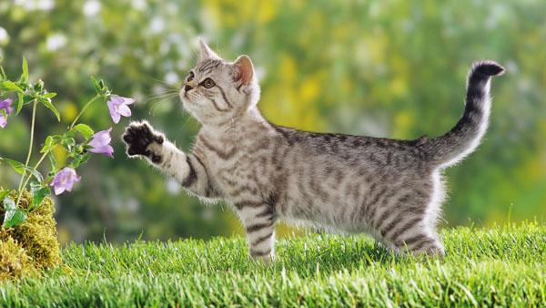 萌宠图片第108期:短毛猫