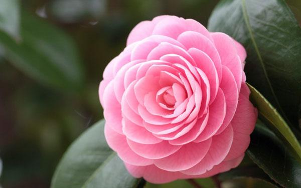 那些花儿:素雅的山茶花