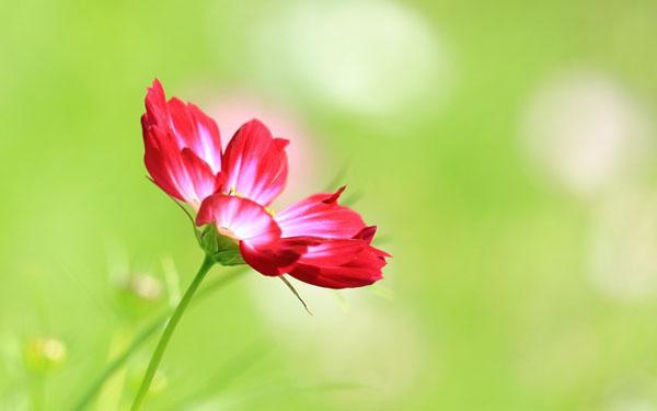 那些花儿:美丽格桑花