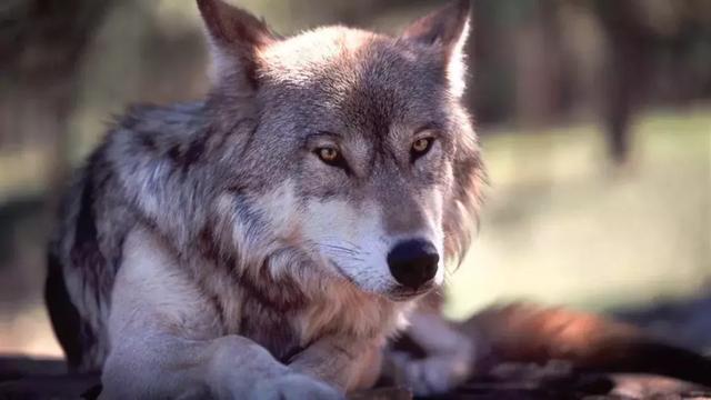 男人,就该像狼一样活着 - 励志美文欣赏